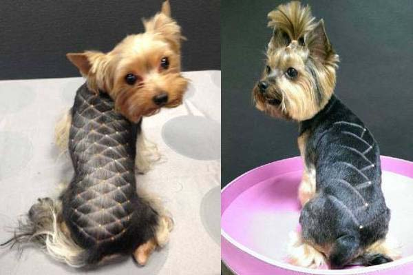 Стрижки йоркширского терьера (53 фото): как подстричь собак-мальчиков и девочек в домашних условиях? виды причесок