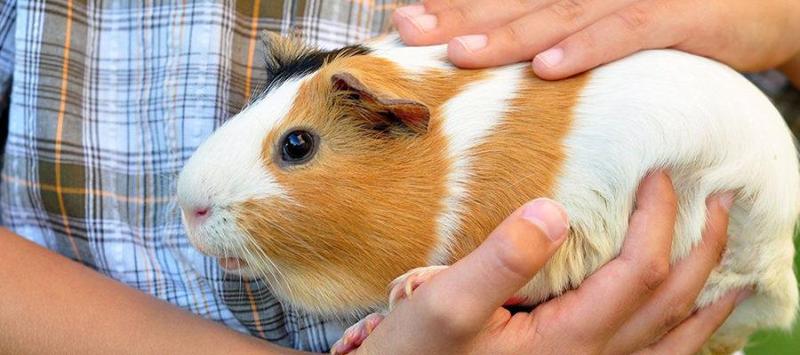 """Чем кормить морских свинок   блог ветклиники """"беланта"""""""