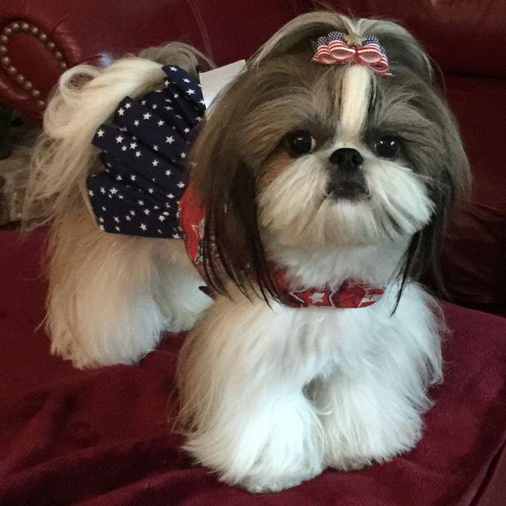 Ши-тцу: все о собаке, фото, описание породы, характер, цена