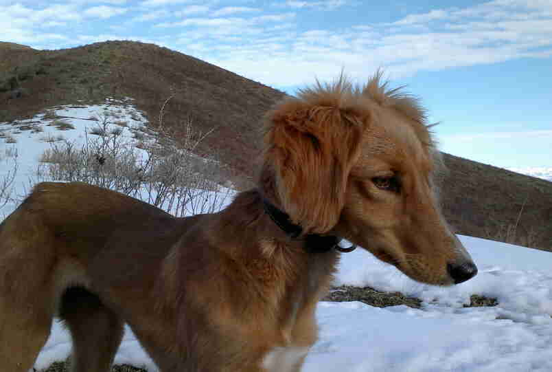 Тайган: характеристика и описание породы (с фото)   все о собаках