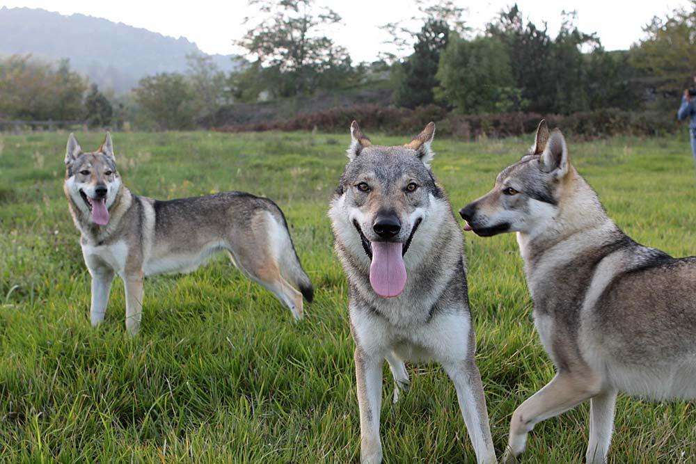 Отвага, преданность и азарт – основные качества итальянских пород собак