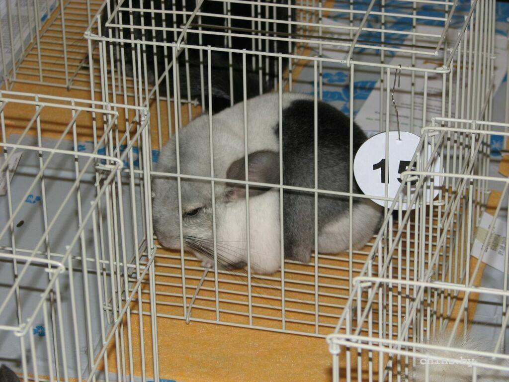 Сколько стоит домашняя крыса