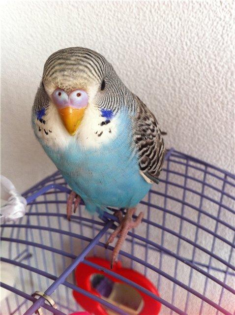 Какого цвета выбрать волнистого попугая