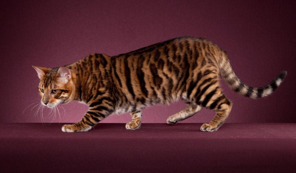 Тойгер кошка : содержание дома, фото, купить, видео, цена
