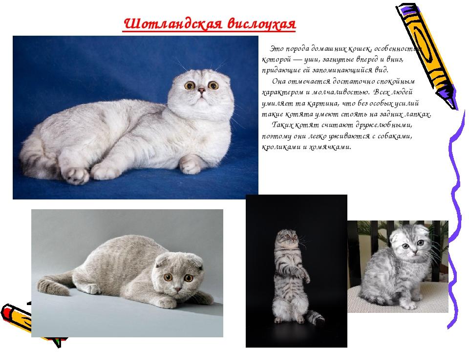 Британские коты: характеристика породы, характер и поведение