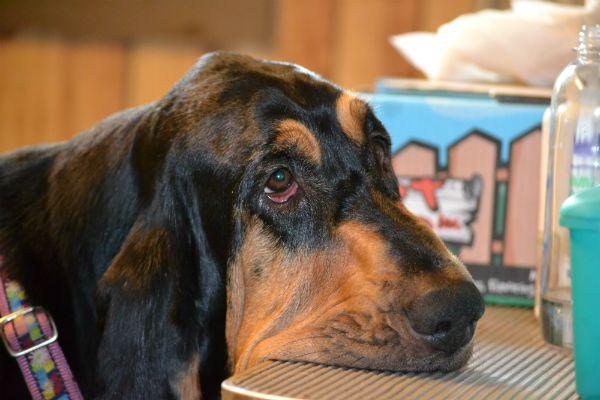 Бладхаунды (55 фото): описание гончих собак, история возникновения породы, особенности ухода за щенками