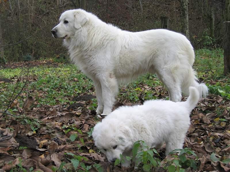 Описание породы собак словацкий чувач с отзывами и фото
