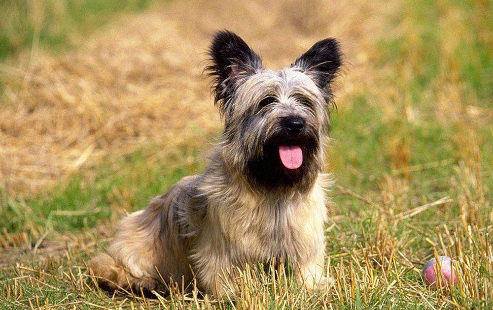 ᐉ описание породы собак скай терьер с отзывами владельцев и фото - zoogradspb.ru