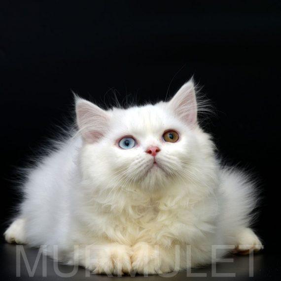 Кошки породы наполеон (44 фото): описание, особенности ухода за взрослым котом и котятами, советы по выбору