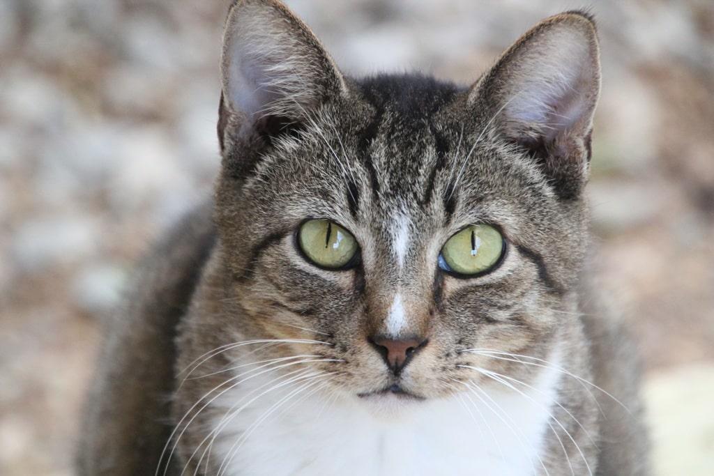Азиатская табби кошка : содержание дома, фото, купить, видео, цена