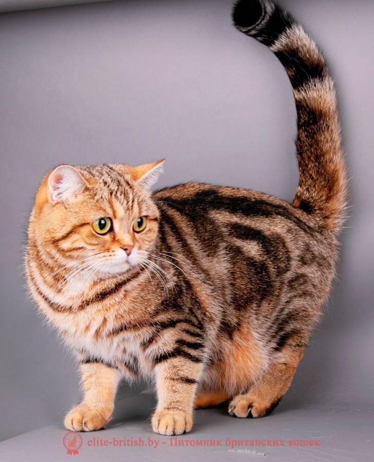Мраморная кошка (33 фото): описание пород котов окраса красный мрамор, снежный мрамор и других видов цвета