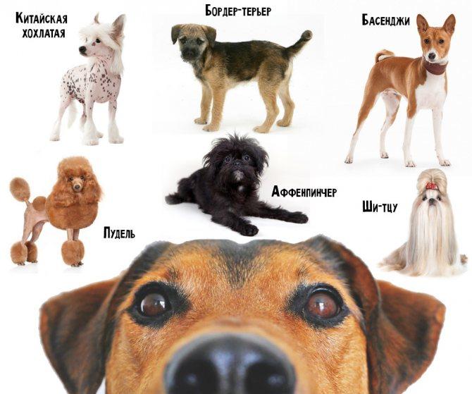 Породы собак от которых нет алергии