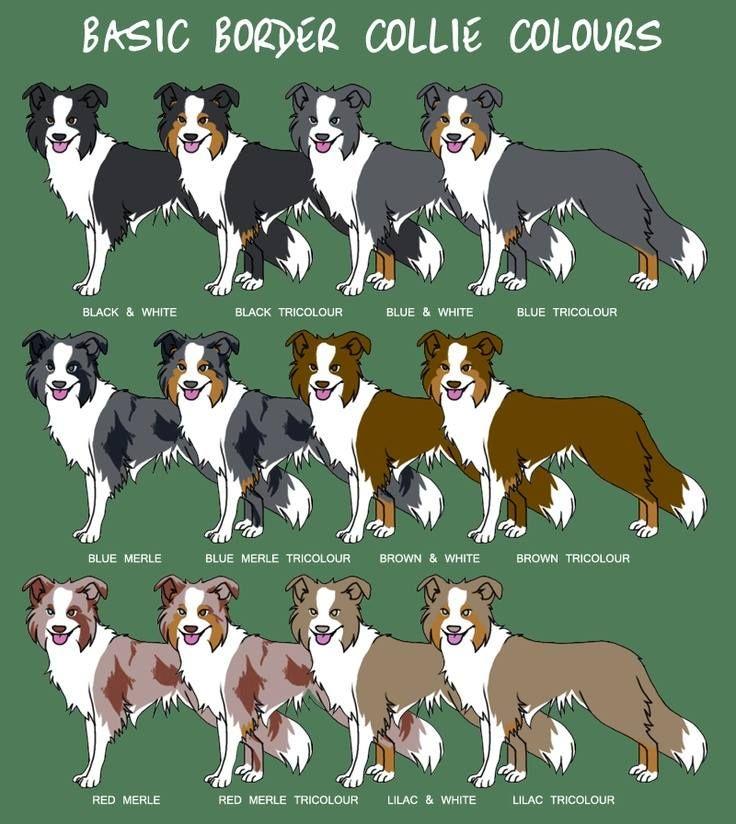 Бордер колли: описание породы, фото, щенки, уход и содержание | zoosecrets