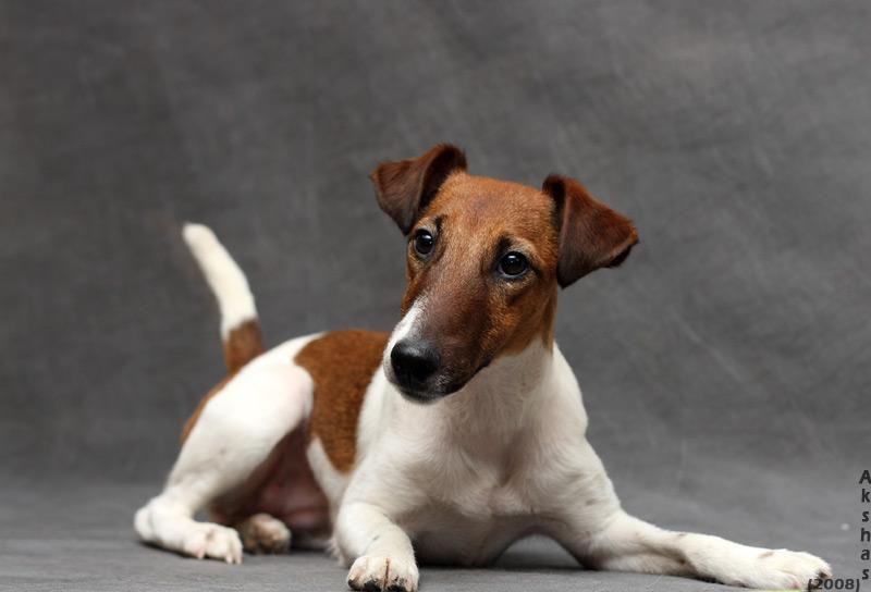 Гладкошерстный джек-рассел-терьер: все о породе, фото собак, принятые стандарты, характер, особенности ухода, плюсы и минусы