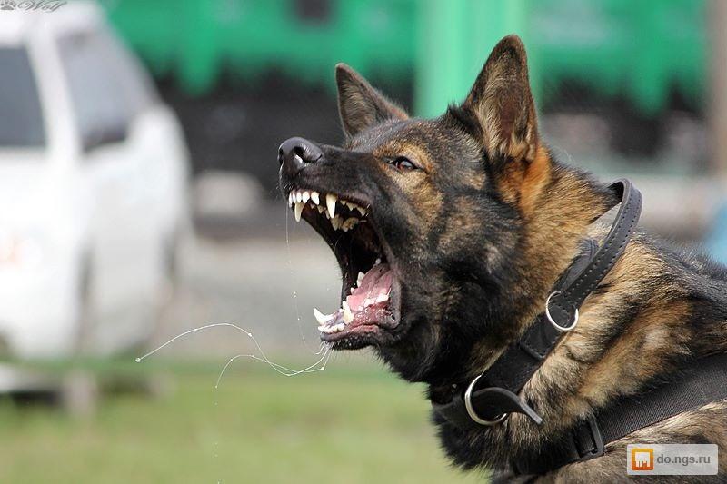 Сила сжатия челюстей собак и в чем она измеряется: у какой породы самый сильный