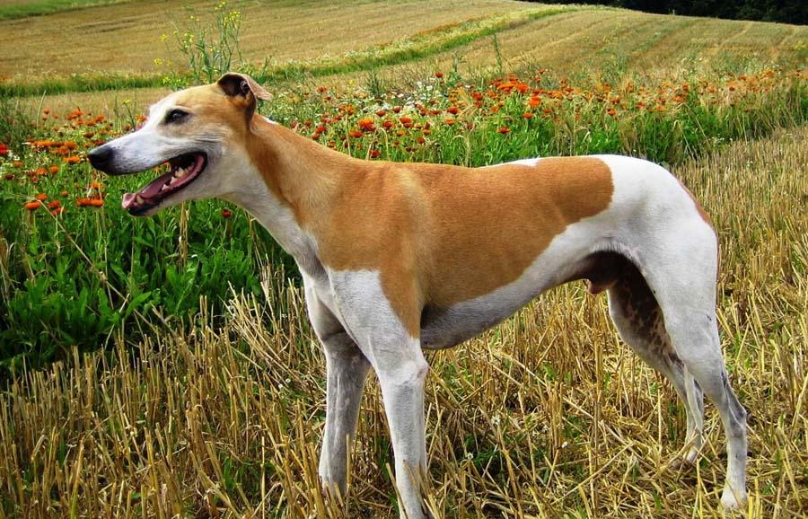 Слюги (арабская борзая) — фото, описание породы собак, отзывы