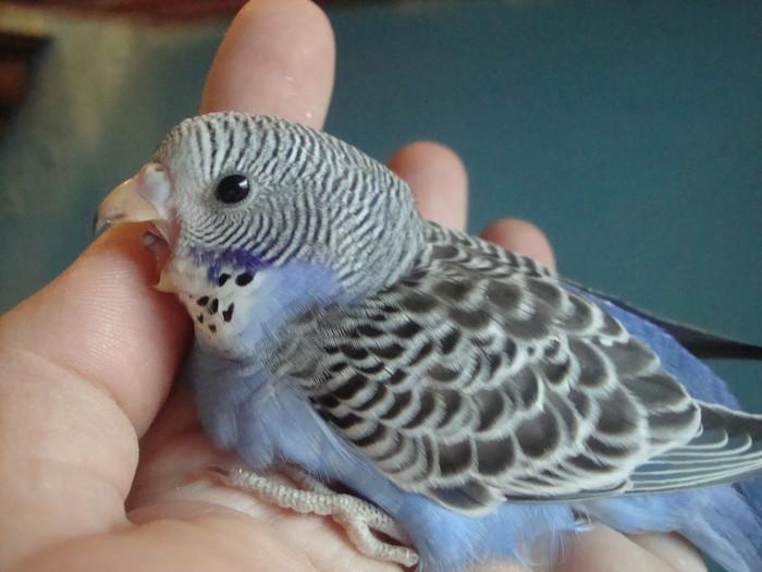 Как выбрать волнистого попугая мальчика: видео, советы