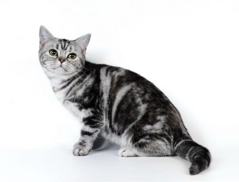 Яванская кошка: описание, фото, цена, питомники