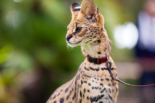 Кошка кинкалоу: описание внешности и характера, уход за питомцем и его содержание, выбор котёнка, отзывы владельцев, фото кота