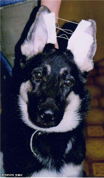 Как поставить уши щенку: породы, которые нуждаются в поставке ушей, можно ли поставить уши взрослой собаке