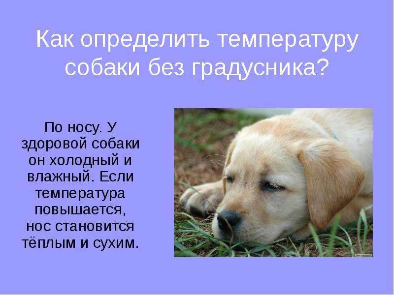 Горячий нос у собаки