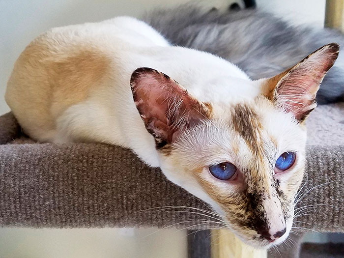 Яванская кошка (яванез): описание породы, характер, уход