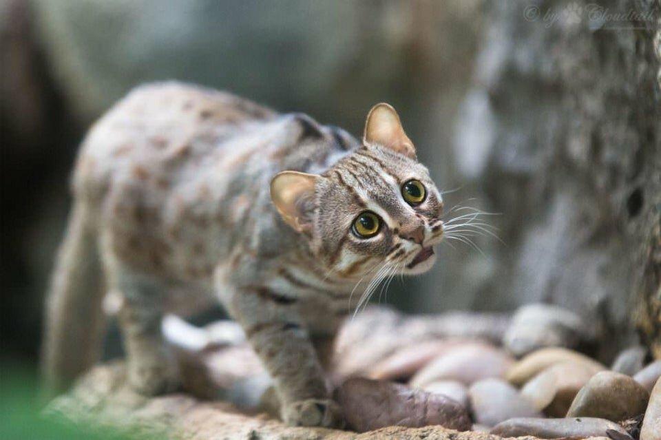 Ржавая кошка: фото, описание породы, обитание, питание, размножение ржавая кошка: фото, описание породы, обитание, питание, размножение