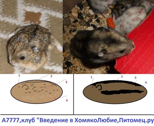 ᐉ как узнать возраст хомяка джунгарского: до каких размеров вырастает? - zooshop-76.ru