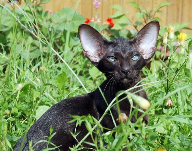 Ориентальная - порода кошек - информация и особенностях   хиллс