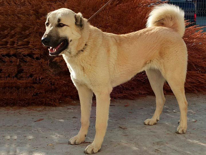 Кангал (турецкий волкодав): фото и описание породы собак