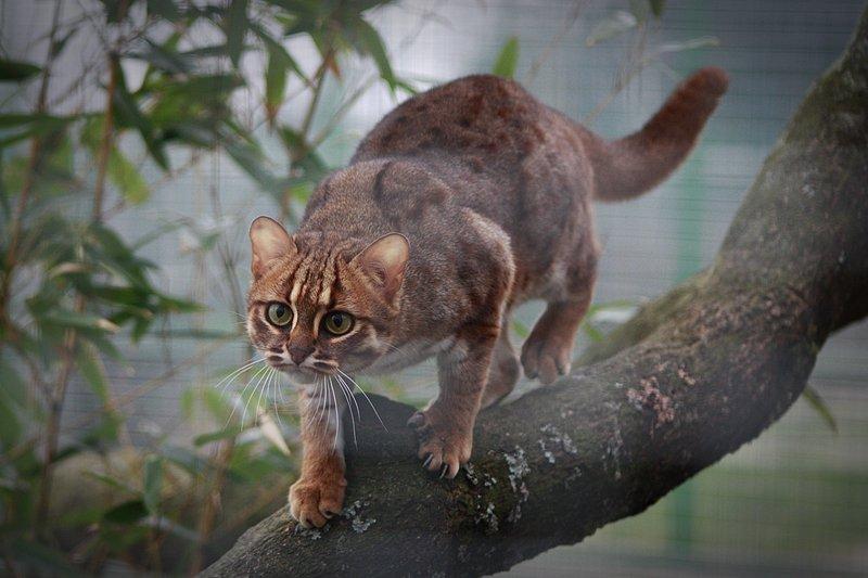 Самые маленькие дикие кошки в мире: топ-10