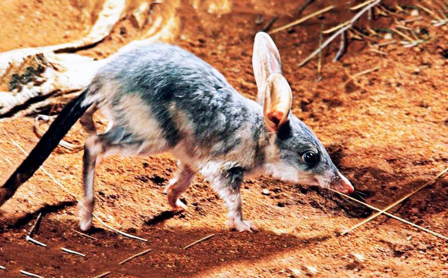 Бандикут кроличий: фото самого необычного зверька