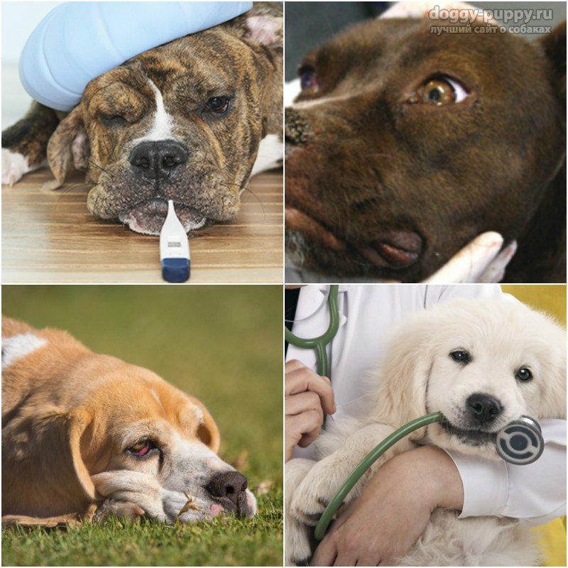 Чумка у собак: первые признаки и лечение, правила поведения. – ветеринарные клиники ушихвост, полный спектр услуг для животных.