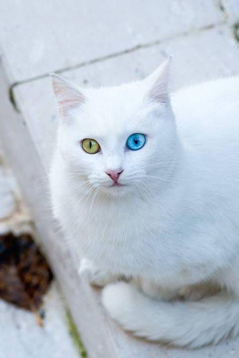 Русско голубая кошка с желтыми глазами порода