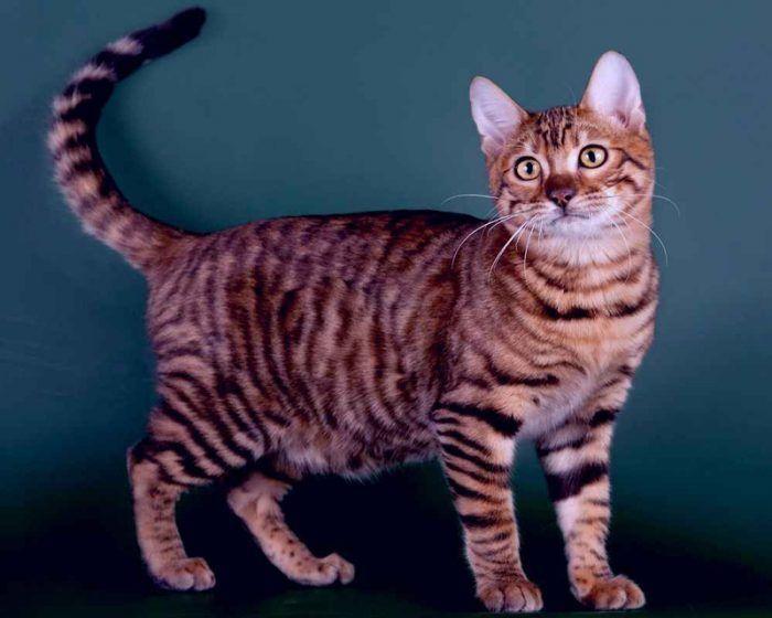 Тойгер: фото, описание породы кошек