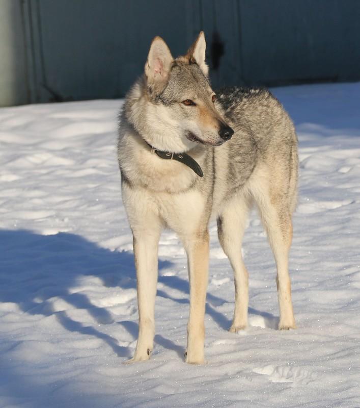 Чехословацкая волчья собака ???? фото, описание, характер, факты, плюсы, минусы собаки ✔