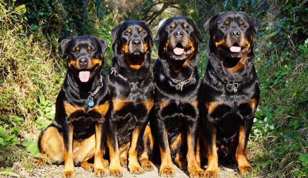 Сторожевые породы собак: средних размеров, небольшие, маленькие и большие псы для охраны частного дома. названия и описание самых лучших породистых охранных