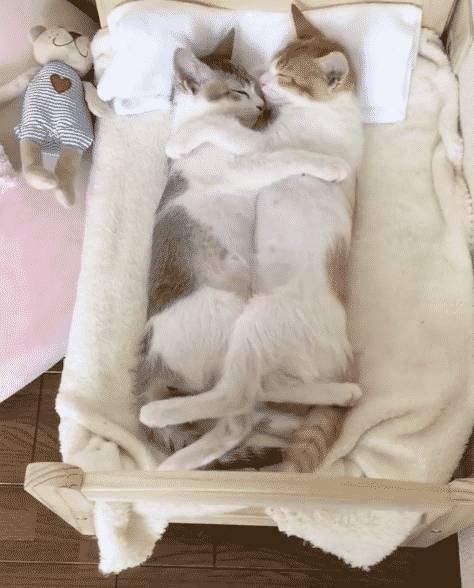 Почему кошки любят спать с хозяевами: привилегия или необходимость. рассуждения опытных заводчиков