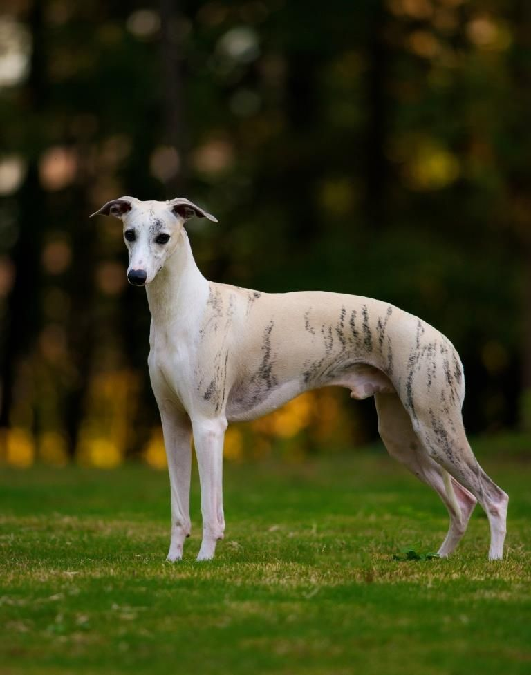 Уиппет: фото и характеристики собаки, уход и содержание