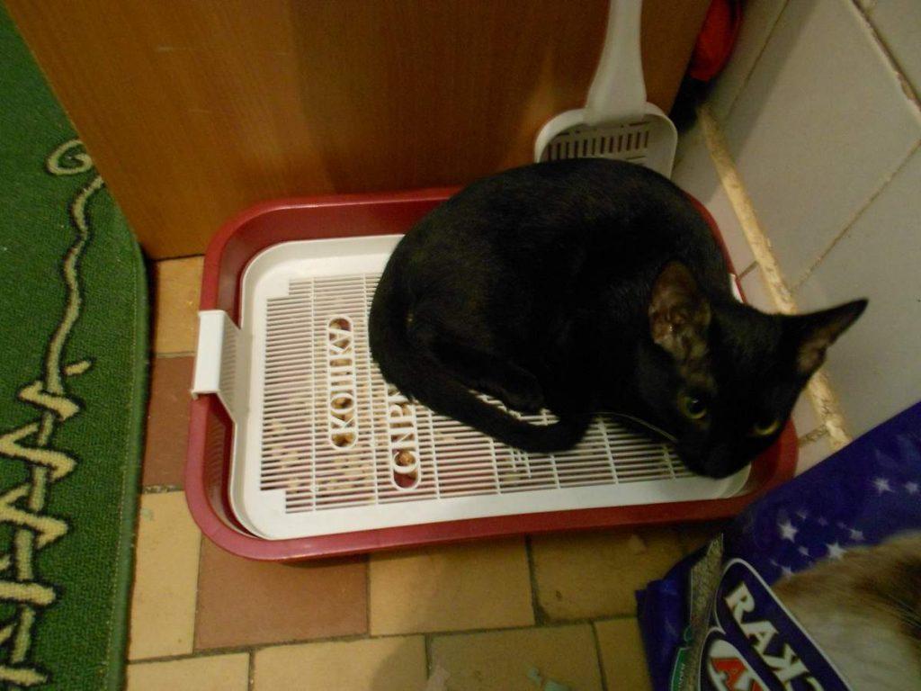 6 причин, почему кошка сидит в лотке