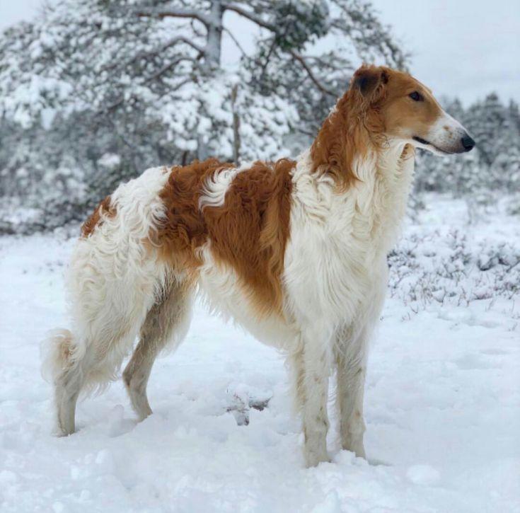 Порода собак русская псовая борзая, характер и как выглядит, какие окрасы допустимы