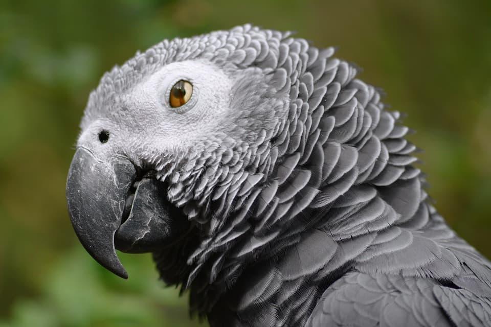 Попугай жако. цена жако. как ухаживать за попугаем жако | животный мир