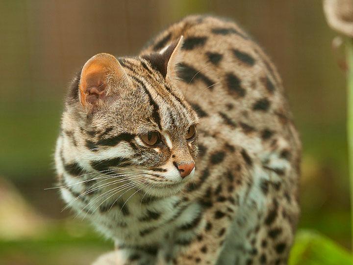Азиатская дымчатая кошка : содержание дома, фото, купить, видео, цена