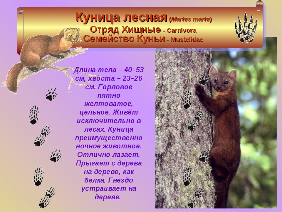 Куница: как выглядит животное, интересные факты и фото зверька