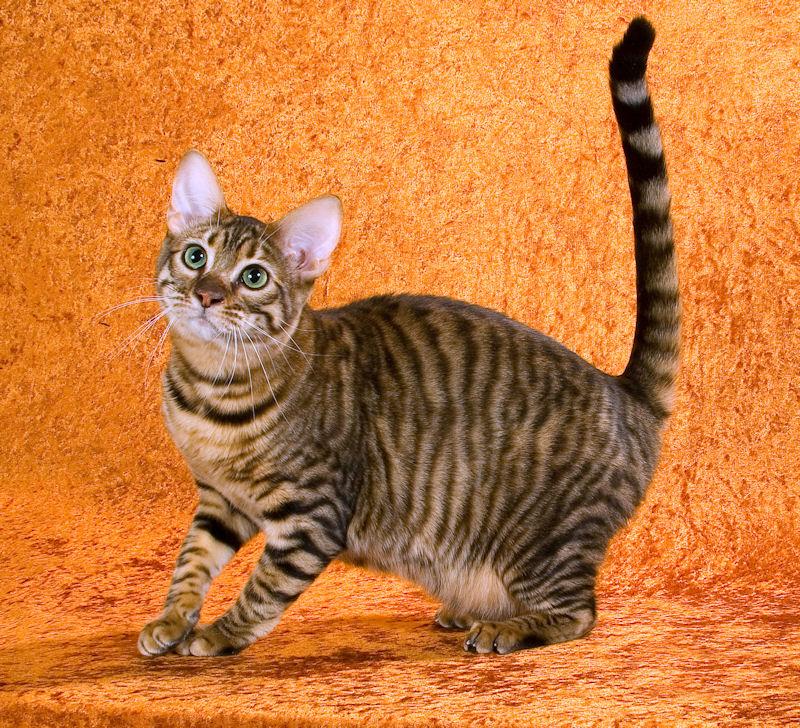 Тойгер: особенности породы кошек, фото, цена котенка, описание внешнего вида, характер, содержание и ухож