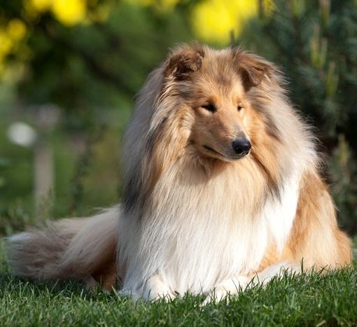Собака колли или шотландская овчарка фото, описание породы, цена щенка
