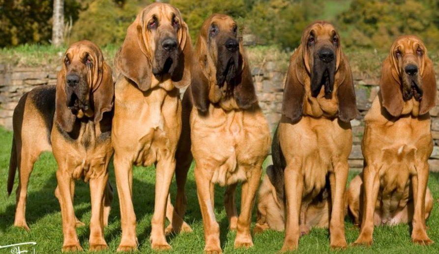 Немецкий дог — фото, характеристика породы собак, описание, особенности содержания