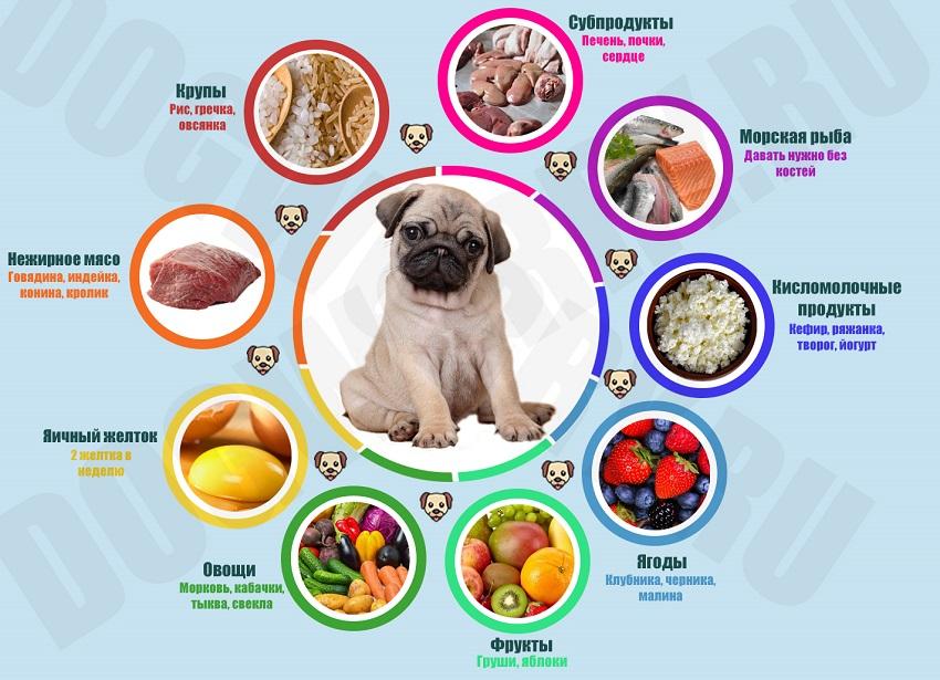 Чем кормить мопса: советы и пример меню на неделю :: syl.ru