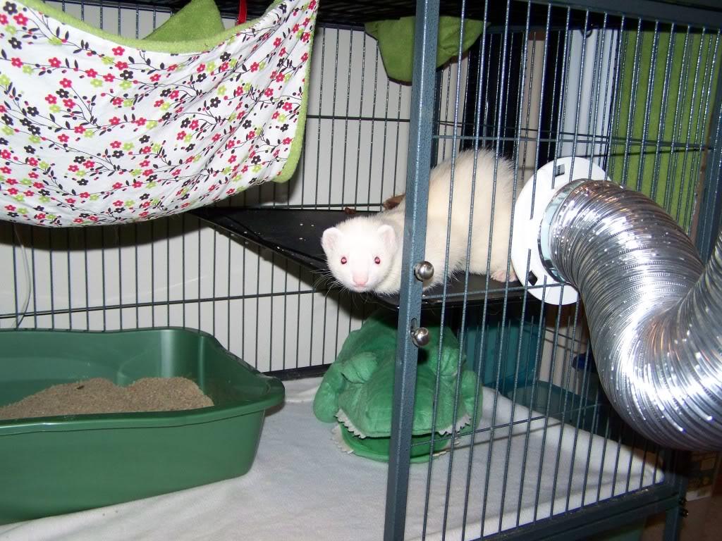 Особенности хорьков в домашних условиях (чем кормить)