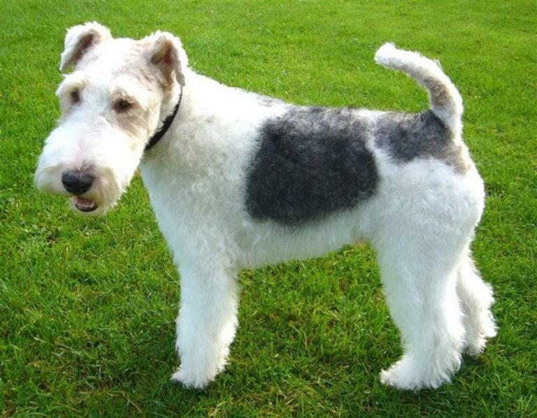 Дратхаар (немецкая жесткошерстная легавая) — порода собак